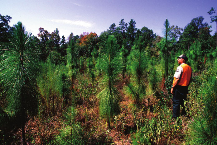 Stand-planted-with-longleaf-pine-a-less-susceptible-species-to-southern-pine-beetle